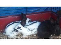 Baby English rabbits.