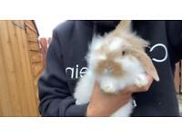 8 weeks male rabbit