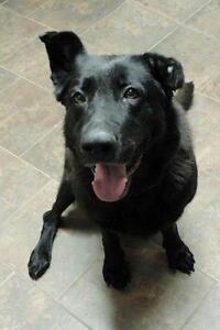 "Senior Female Dog - Shepherd-Labrador Retriever: ""Cherie"""