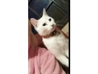 Missing pure white cat bright blue eyes