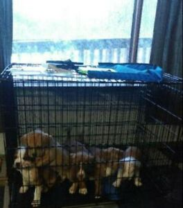 Bulloxer puppies for sale