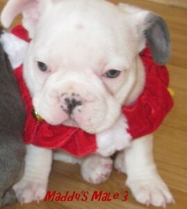 French Bulldog Kijiji In Alberta Buy Sell Save With Canada S