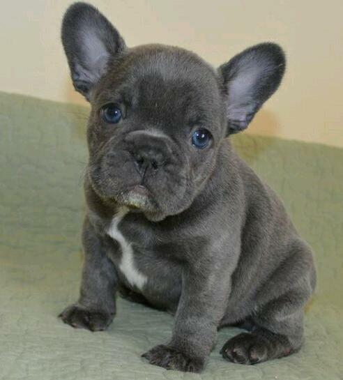 baby french bulldog for sale blue girl french bulldog puppy for sale in aviemore 9360