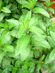 Raspberry Plants ... perennials ...Mint plants / Stems .. Cambridge Kitchener Area image 2