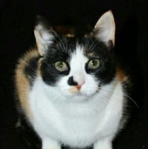 3-Year Old Calico Cat to Give Away to a Good Home