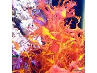 Macro Algae for the Marine Tank, Seahorse Aquarium and Nano-Tank. Beautiful as some Coral !