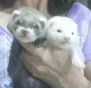 Ferret kits Middle Swan Swan Area Preview
