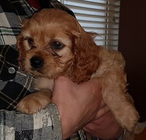 Cavalier King Charles Spaniel cross Poodle Pups
