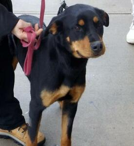 "Young Female Dog - Rottweiler: ""Tilly"""