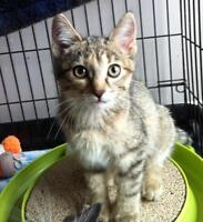 "Baby Female Cat - Domestic Short Hair - brown: ""Beth"""