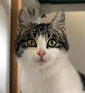 """Young Male Cat - Domestic Short Hair-Tabby: """"Plum"""""""