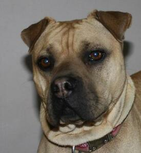 "Young Female Dog - Shar Pei-Mastiff: ""Mylee"""