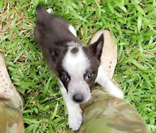 Dog/Puppy walking Burdell Townsville Surrounds Preview