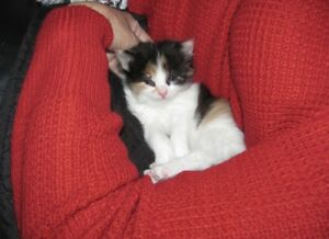 Two female Calico kittens looking for loving home very friendly