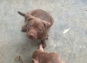 STAFFY X FEMALE PUP LAST ONE!!! Armadale Armadale Area Preview