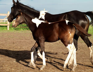 STEAL OF A DEAL Flashy Pinto Sport Horse Filly Strathcona County Edmonton Area image 4