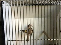 goldfinch pair for sale