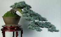 Cedro Libano Cedrus Libani Ideal Bonsai 100 Semillas Seeds 2016 -  - ebay.es