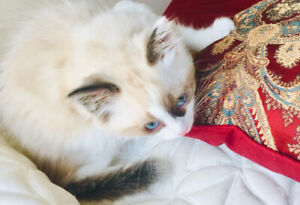 Gorgeous Ragdoll (bicolored) baby