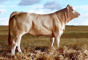 Blonde Cows, Heifers and Bulls For Sale