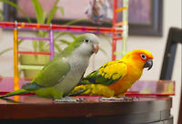 Oisellerie Les plumes de Caliméro - conures et quakers