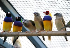BEAUTIFULL PARENT RAISED GOULDIAN FINCHES FOR SALE