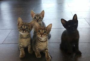 F5 Savannah Cat Kittens Available. 2 Boys 1 Girl