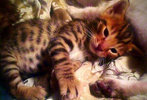 ONLY 1 LEFT - Registered Bengal Cub