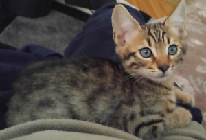 Bengal kitten.  Purebred from a breeder. 9 weeks old