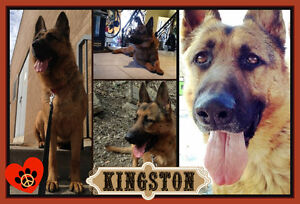 MAGNIFICENT KINGSTON NEEDS A PATIENT, LOVING FOREVER HOME