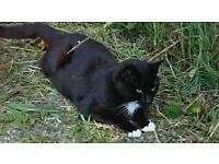 Male black and white cat. Free