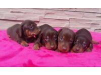 Miniature dachshund chocolate & tan puppies