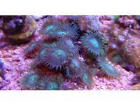 Marine aquarium coral palys frag