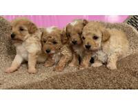 Maltipoo puppies ( toy poodle, Maltese )
