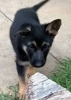 Purebred German Shepherd Puppy Bendigo 3550 Bendigo City Preview
