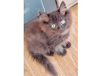 Persian x ragdoll kittens only 2 available