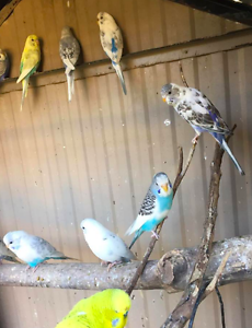 **AVIARY BUDGIES SPECIAL JUST $10 THIS WEEKEND** Gilles Plains Port Adelaide Area Preview