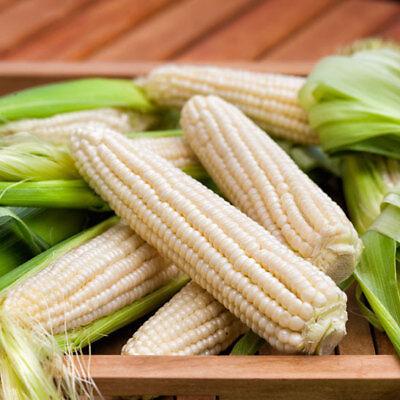 50+ - 50 LB SILVER QUEEN WHITE SWEET CORN - NON-GMO HEIRLOOM -