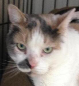 """Adult Female Cat - Dilute Calico: """"Eileen"""""""