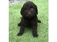 Chocolate Cockapoo puppies for sale