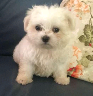 Wanted: Maltese puppy lost.