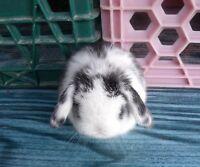 Bébés lapins mâles et femelles Bélier Hollandais ( Bélier Nain )