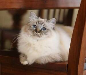 Birman Retiree`s Looking For Their Forever Home Barmera Berri Area Preview
