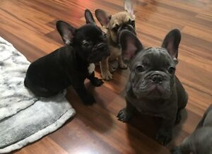 Top Quality french Bulldog Puppies Oakville / Halton Region Toronto (GTA) image 5
