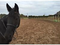 14.2hh gelding for sale or long term loan - urgent as owner has moved down south
