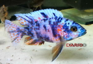 "Blueberry OB Peacock Male 4"" to 5"" >>> PRICE DROP !!!!!!!!!!!!!!"
