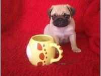 KC REGISTERED PUG PUPPY