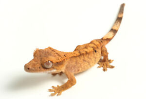 Two Crested Geckos Extra Large Terrarium Auto Mister and More
