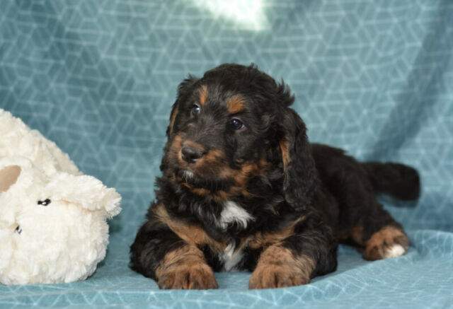 Bernedoodle Pups Tricolour Dogs Puppies For Rehoming