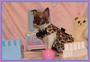 Chihuahua ❤❤ Coucou c'est moi Zola  ★ princesse au yeux vert